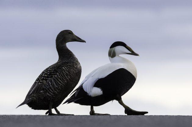 Haahkanaaras ja -koiras sivuttain kameraan. Naaras on ruskeankirjava ja koiras voimakkaan mustavalkoinen.
