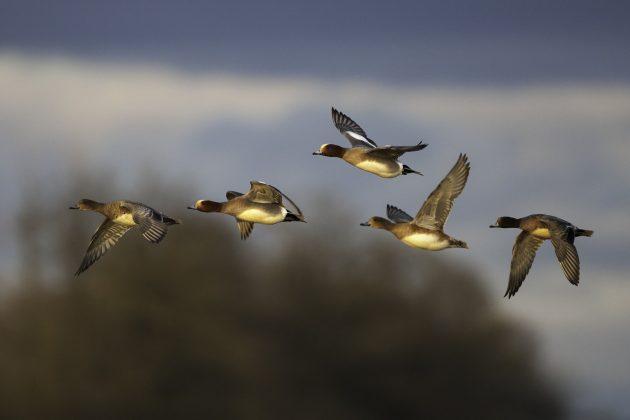 Viisi haapanaa lentämässä.