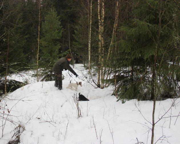 Metsästäjä osoittamassa alaspäin onkaloon. Kaksi pientä koiraa ovat metsästäjän vierellä. Maassa on paljon lunta ja ympärillä kuusia.
