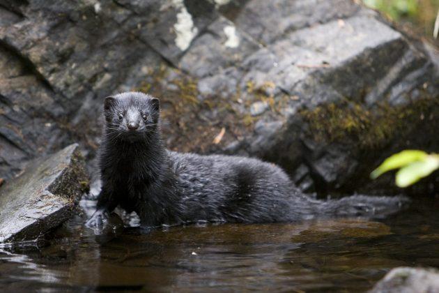 Lähes musta minkki katsoo kameraan. Eläin on puoliksi vedessä ja puoliksi kiven päällä.