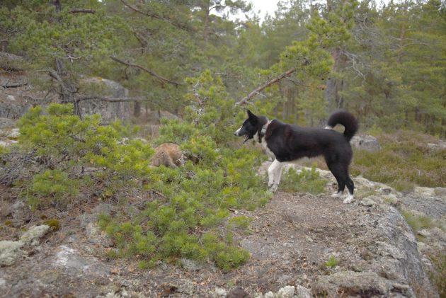 Mustavalkoinen koira haukkuu männyn oksien suojaan pysähtynyttä supikoiraa.