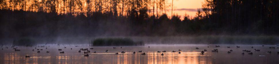 Suuri määrä vesilintuja järvellä. Järvenpinta on utuinen ja taustalla hohkaa auringonlasku.